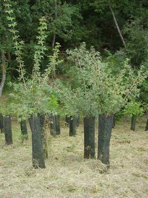 AZF Toulouse Yard Sorbus domestica (Sorbus domestica) HIGH PERFORMANCE® endomycorrhizal 4 years after planting.  The plants were one year old in Robin ANTI-CHIGNON® and measured 20 cm or more during planting.
