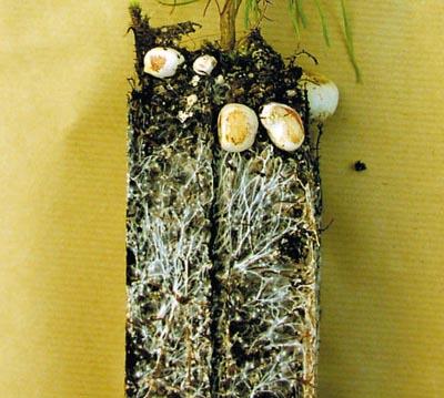 Fructification in nurseries of RHIZOPOGON rubescens on Austrian pine (Pinus nigra austriaca) in ROBIN ANTI-CHIGNON® R430