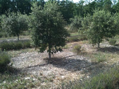 Truffle oak plantation