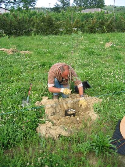 For small plots of soil cultivation in potet at the location of the trees on 1m2 and 30 cm deep.