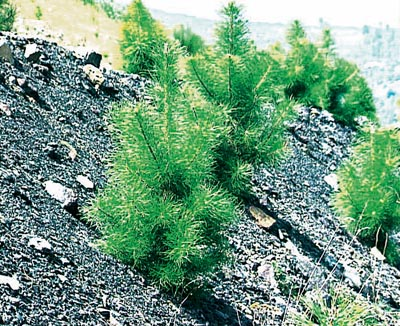 Pinus laricio corsicana.Plantation on hostile soils.  (Verses de collieries) ONF Alès (30).  Growth of 60 cm during the 3rd growing season.  Recovery rate:?.
