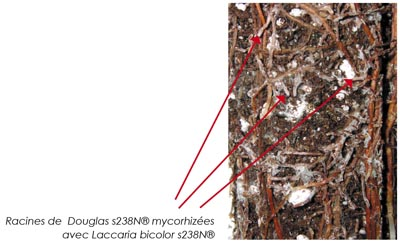 Mycorrhizal s238N® Douglas-fir root with Laccaria bicolor s238N®