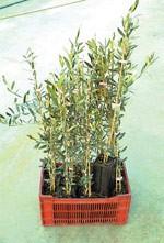 2003/2004 : Nouvelle culture de PLANT CHAMPIGNON®